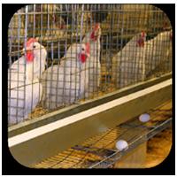 دی-جی-ام-تکنومیکس-خوراک-مرغ-تخمگذار