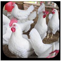کنسانتره و مکمل مرغ گوشتی