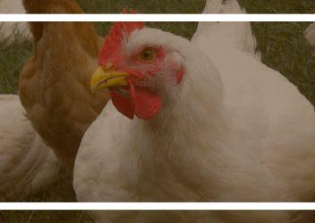 خوراک مرغ گوشتی