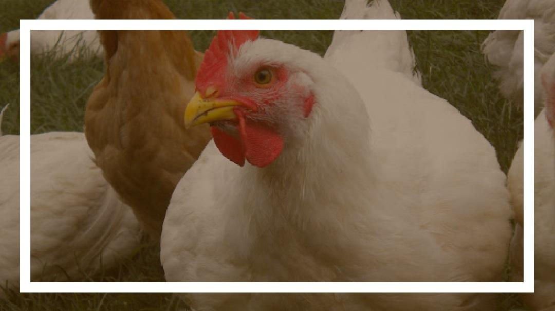 خوراک مرغ گوشتي
